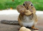 chipmunk-with-full-cheeks